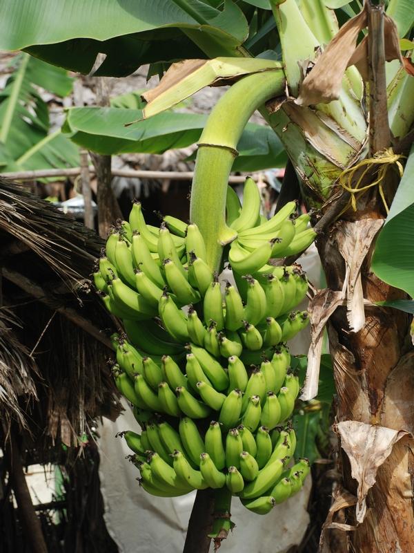 Как сделать банан для пальмы 662